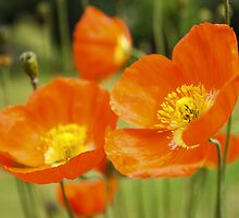 Poppies by JLHphoto