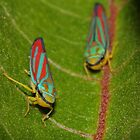 Scarlet-and-green Leafhoppers by Kane Slater