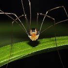 Eastern Harvestman  by Kane Slater