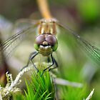 DARTER by Russell Couch