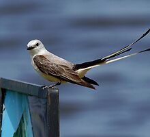 Scissor-tailed Flycatcher 1 by Janice Carter