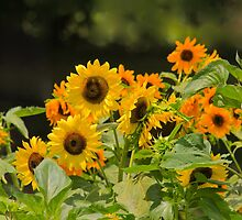 Sunflowers by NatureGreeting Cards ©ccwri