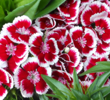 Sweet, Sweet Williams - Red Picotee Sticker