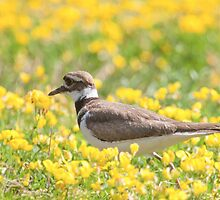 Killdeer  by withacanon