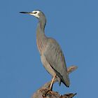 White Faced Heron  Canberra Australia  by Kym Bradley