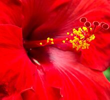 Large Red Hibiscus by Leigh Anne Meeks