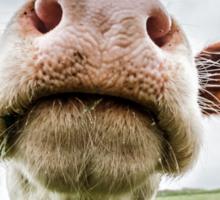 Silly Cow Sticker