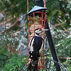 Great Spotted Woodpecker by AnnDixon