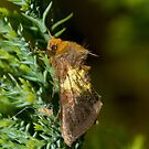 Burnished Brass Moth by Jon Lees