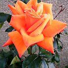 Orange Rose by ElsT