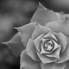 Succulent BW by catherine-rose