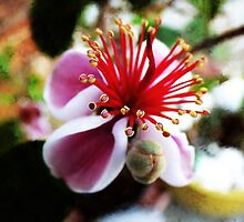 the Feijoa Blossom  by PictureNZ