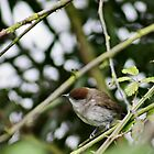 Female Black Cap listening intently by missmoneypenny