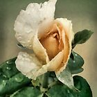 Rosebud After The Rain by RC deWinter