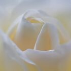White Rose Macro by David Alexander Elder