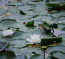 White Water Lily by EmmaBrittain