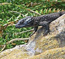 Black Girdled Lizard by Lee Jones