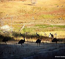 Australian emus and kangaroos at sunrise by NSWCamper