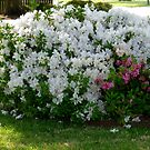 Azalea Bush by WildestArt