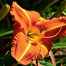 Daylily Series - No.4 by Carol Clifford