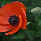 Poppy Love.....say something!!! by Poete100