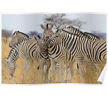 Zebra - African Wildlife Background - Love to Feel Poster