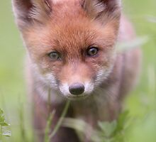Portrait of Red Fox kit by Remo Savisaar