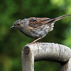 Dunnock on an old wooden garden fork handle. by Mick Gosling