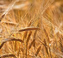 Golden Barley by Violaman