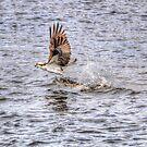 Fishing Osprey and Walleye by Skye Ryan-Evans