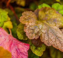 Heuchera Green Spice by Alec Owen-Evans