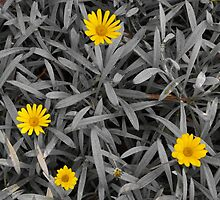 Yellow on Grey, Wittunga Botanical Garden, SA by Emily Wilson