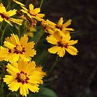Coreopsis, As-Is by Linda  Makiej