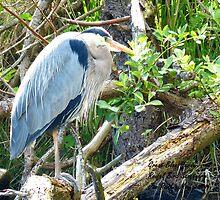 Beautiful Great Blue Heron by warriorwoman