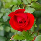 Pillow - The Red Rose Of Lancaster by Francis Drake