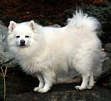 American Eskimo Spitz Dog by Oldetimemercan