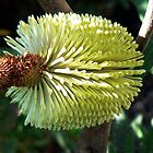 Banksia Integrifolia by Graeme  Hyde