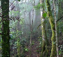 Falcorostrum Loop, Border Ranges National Park, NSW, Australia by Margaret  Hyde