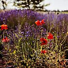 Poppies and Lavender by Lynnette Peizer