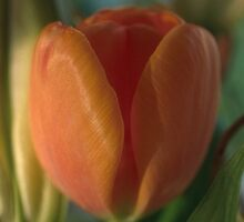 Apricot tulip by Morag Anderson
