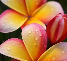 Rain drops on frangipani flower by NaturalCultural