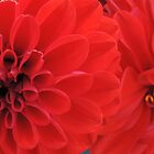 Red Dahlias by Marilyn Harris