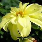 Yellow dahlia by Ana Belaj