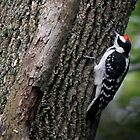 Downy Woodpecker by Rosemary Sobiera