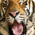 717 panthera Tigris by pcfyi