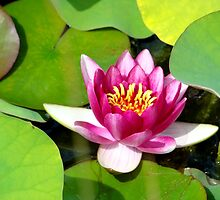 Water Lily by AGODIPhoto
