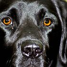 Black lab by missmoneypenny