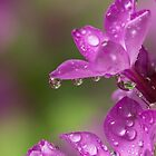 Phlox Refractions by Lynn Gedeon