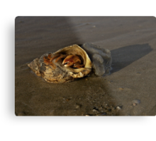 Hermit Crab on Fahan Beach Metal Print