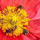 Poppy-go-round for bees! by Celeste Mookherjee